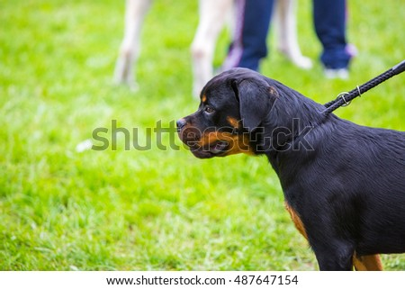 Rottweiler on the grass field