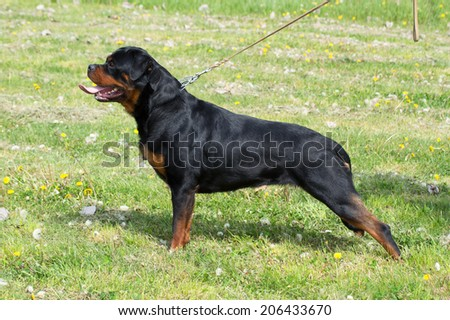 Rottweiler on the show