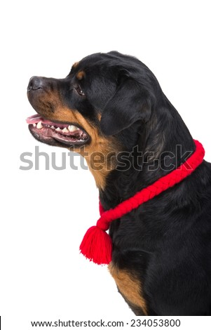 Rottweiler portrait with red lace in profile on the white background. - stock photo