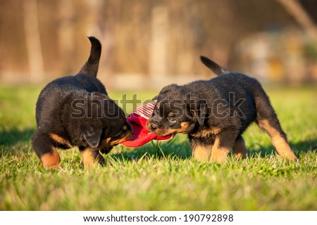 Rottweiler puppies playing with a sneaker - stock photo