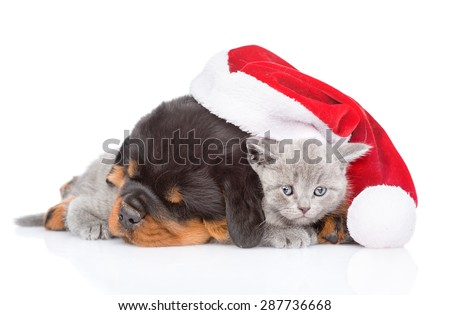 Rottweiler puppy and small kitten in red santa hat. isolated on white background
