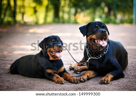 Rottweiler puppy dog autumn - stock photo