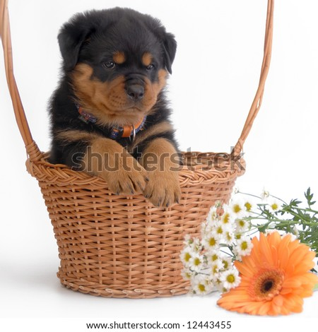 Rottweiler puppy in the basket - stock photo