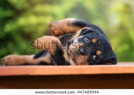 rottweiler puppy lying down outdoors - stock photo