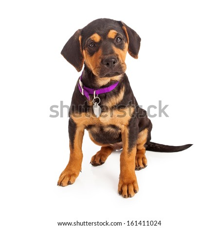Rottweiler puppy wearing a purple collar and blank tag sitting against a white background - stock photo