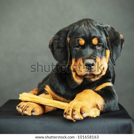 Rottweiler puppy with bone on a black background