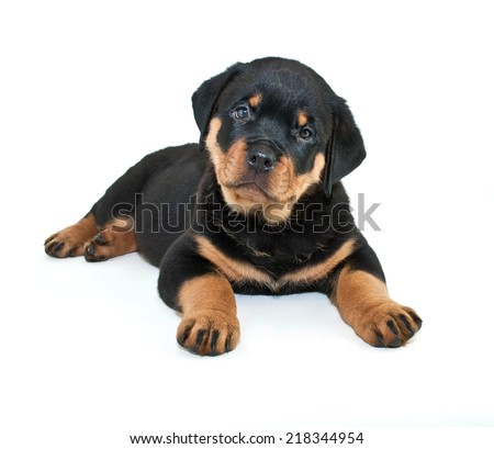 Rottweiler puppy with her head tilted and a loving look on her face, on a white background. - stock photo