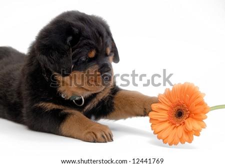 Rottweiler puppy with orange flower - stock photo