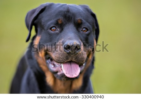 Rottweiler running in a field playing - stock photo