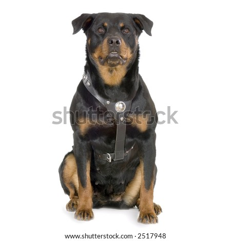 rottweiler sitting in front of white background - stock photo
