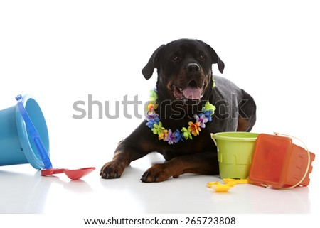 Rottweiler wearing a lei and surrounded by sand toys.  Isolated on white with room for your text.