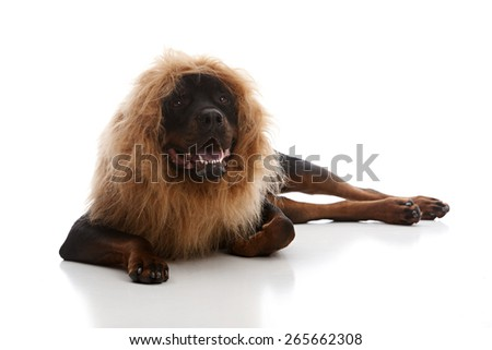 Rottweiler wearing a lion mane.  Isolated on white. - stock photo