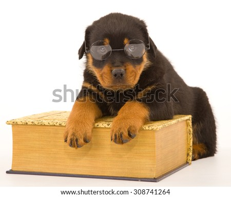Rottweiler wearing reading glasses lying over large book on white background  - stock photo