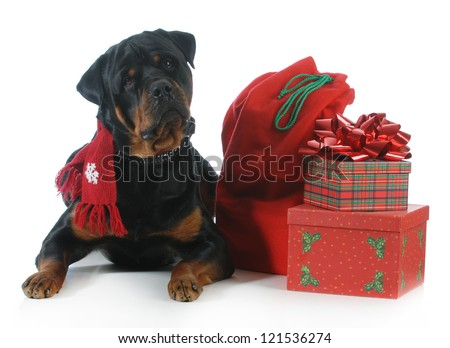 Rottweiler wearing scarf laying beside christmas present isolated on white background - stock photo
