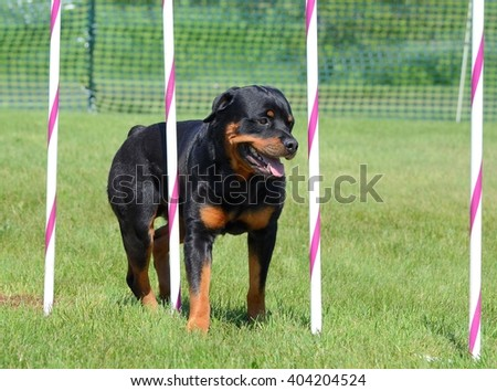Rottweiler Weaving Through Poles at a Dog Agility Trial - stock photo
