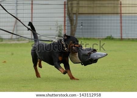 Rottweiler, working test - stock photo