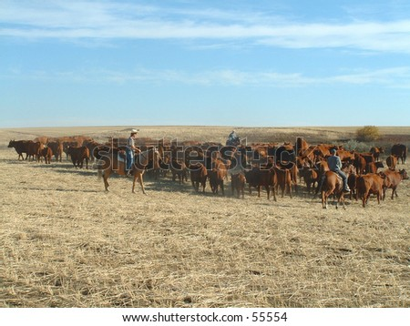 Rouding up cattle