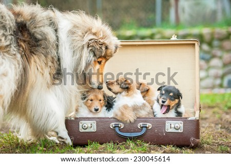 Rough collie dog kissing little puppy sitting in the suitcase - stock photo