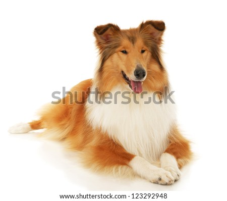 Rough Collie dog on a white background - stock photo