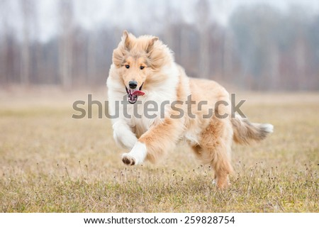 Rough collie dog running in spring - stock photo