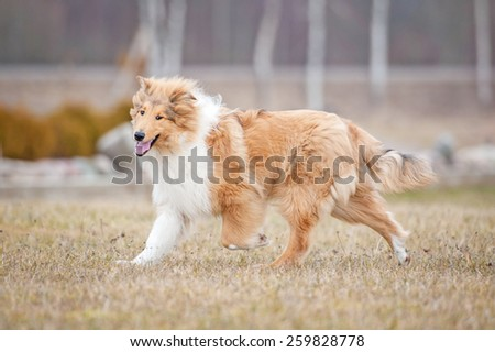 Rough collie dog running in spring