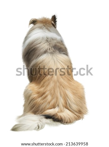 Rough Collie isolated on white