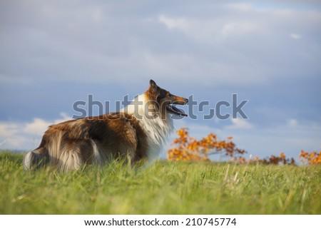 Rough Collie or Scottish Collie  - stock photo