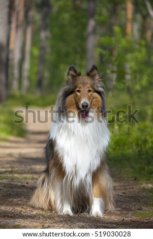 Rough Collie or Scottish Collie in summer forest
