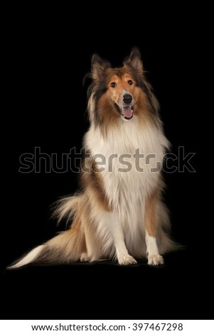 Rough Collie or Scottish Collie isolated over black background - stock photo