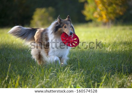 Rough Collie or Scottish Collie over nature background - stock photo