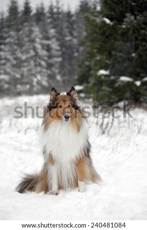 Rough Collie or Scottish Collie over winter nature background - stock photo