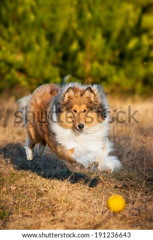 Rough collie playing with ball