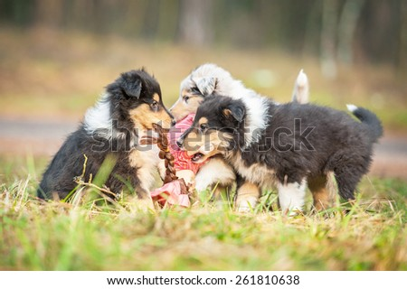 Rough collie puppies playing with a doll - stock photo