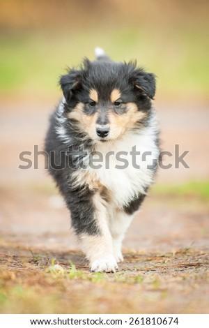 Rough collie puppy  - stock photo