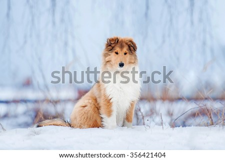 Rough collie puppy in winter - stock photo