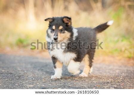 Rough collie puppy running - stock photo
