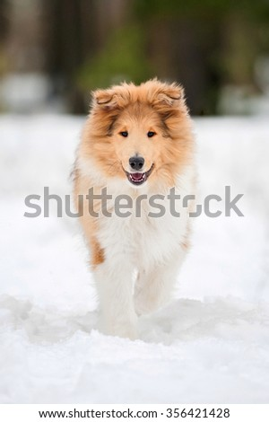 Rough collie puppy running in winter - stock photo