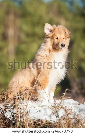 Rough collie puppy sitting on windy day with one ear up - stock photo
