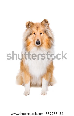rough collie sitting in front of a white background