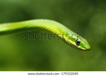 Rough Green Snake - stock photo