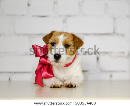 Rough Jack Russell terrier with collar and pink ribbon in front of a white brick wall