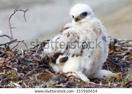 Rough-legged Buzzard (Buteo lagopus) chick in nest and lemming as prey. Novaya Zemlya, Arctic - stock photo