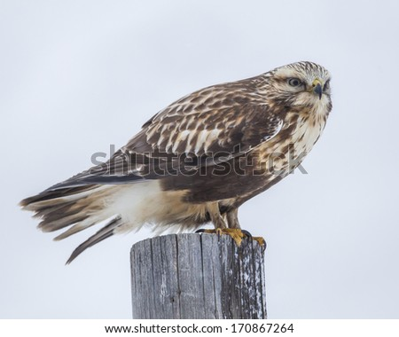 Rough-legged Hawk perched on a Post,  found in the National Wildlife Refuge in Jackson Wyoming. - stock photo