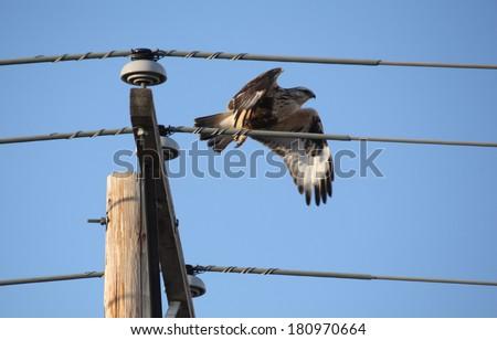 Rough legged Hawk that flight from power pole - stock photo