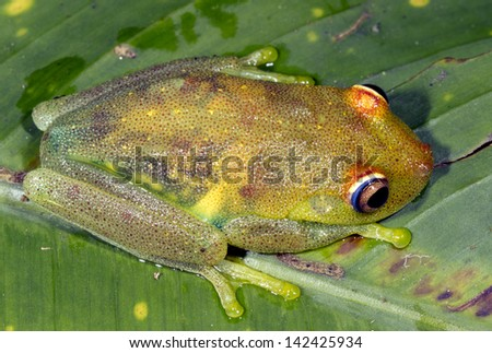 Rough Skinned Green Treefrog (Hypsiboas cinerascens) in the Ecuadorian Amazon