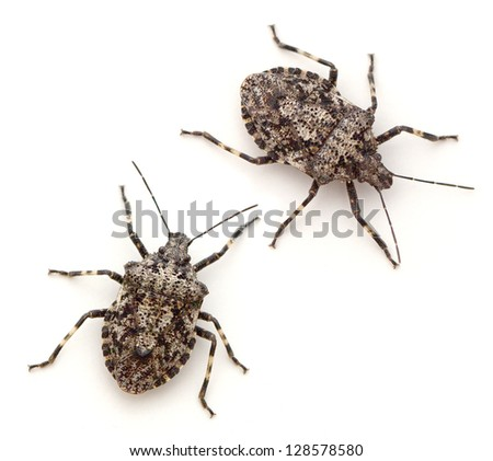Rough Stink Bugs (Brochymena arborea) - stock photo