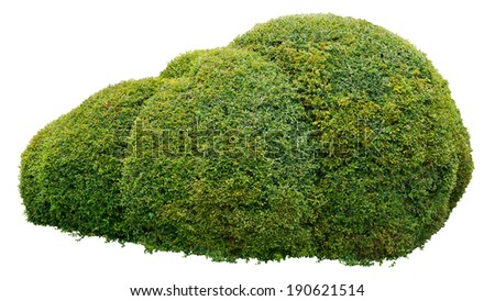 Round ornamental bush isolated on white background