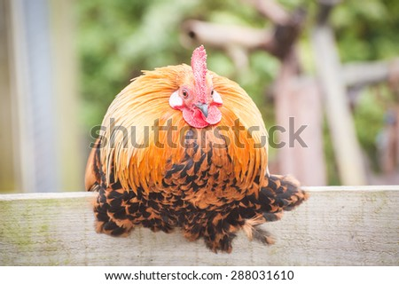 round plump chicken on a farmyard fence - stock photo