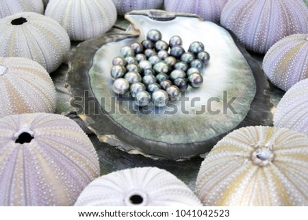 Round Tahitian Black Pearls on a Black lip oyster shell sorrounded by sea urchin Evechinus chloroticus kina shells.
