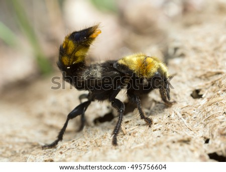 Rove beetle, Emus hirtus on cow dung